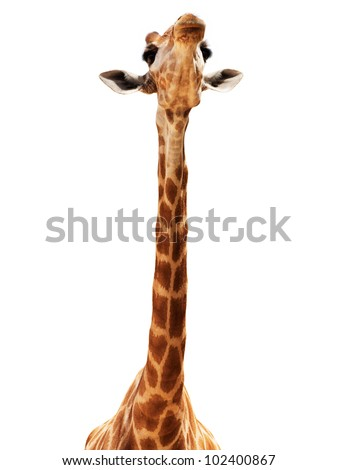 Close up shot of giraffe head isolate on white - stock photo
