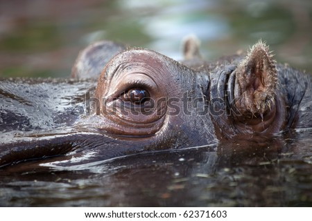 close up shot of hippo's eye in water - stock photo
