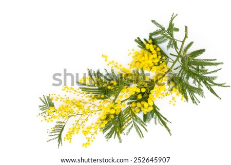 Close up shot of mimosa flower. Isolated on white. - stock photo