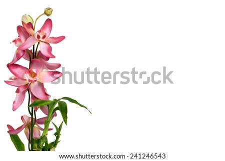Close Up Shot Of Pretty Orchids On White Background With Copy Space/ Tranquil Concept - stock photo
