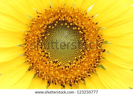 Close up shot of Sunflower - stock photo