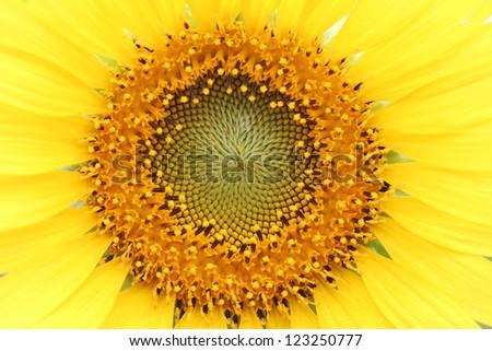Close up shot of Sunflower - stock photo