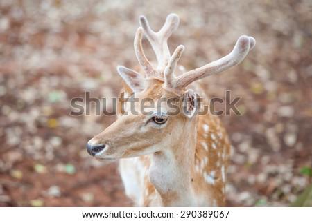 Close-up shot of the fallow deer - stock photo