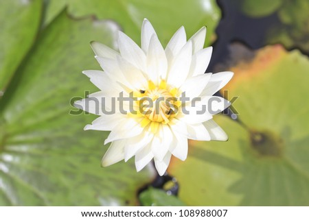 close up shot of white blooming lotus - stock photo