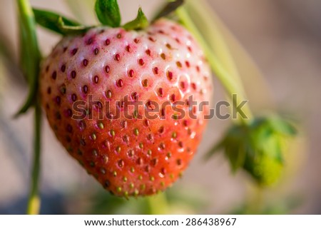 Close up shot strawberry with planting strawberry background - stock photo