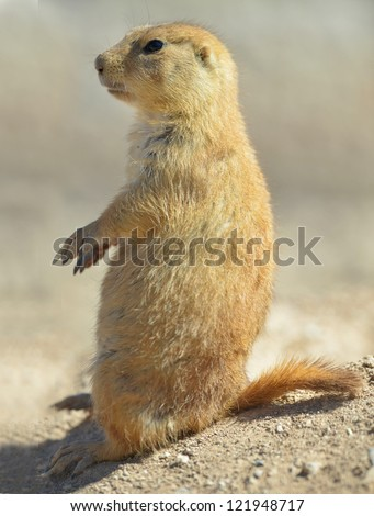 close up side profile of american prairie dog sitting on his haunches, phoenix, arizona, united states. hairy rodent similar squirrel, gopher, rat, mouse in hot arid desert - stock photo