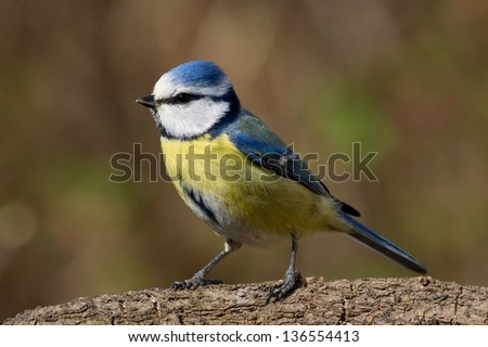 Close up side view of a bluetit facing left - stock photo