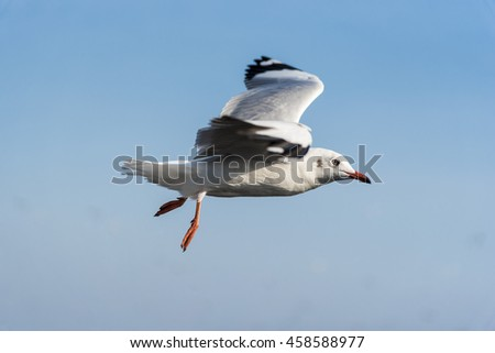 Close-Up Side View Shot of A Seagull flying from left to right with Clear Blue Sky Background. - stock photo