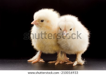 close-up small fluffy chickens on a dark background studio - stock photo
