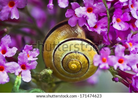 Close up snail on pink butterfly bush flowers - stock photo