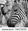 Close Up Stylized Black and White Portrait of Zebra on Serengeti Tanzania Africa - stock photo