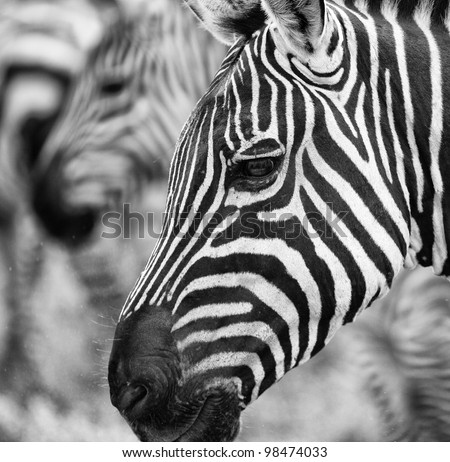 Close Up Stylized Black and White Portrait of Zebra on Serengeti Tanzania Africa - stock photo