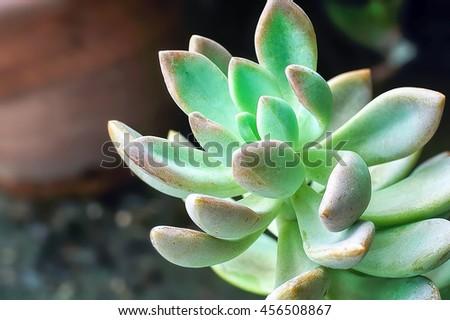 Close up Succulent Cactus Plant.  - stock photo