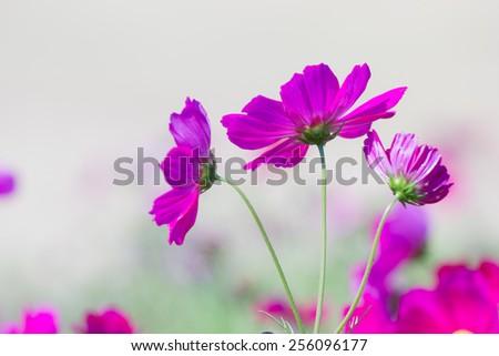 close up sulfur Cosmos Flower - stock photo