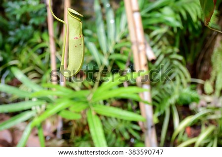 Close up ,The pitcher plant Nepenthe with drop of water, and blur background - stock photo