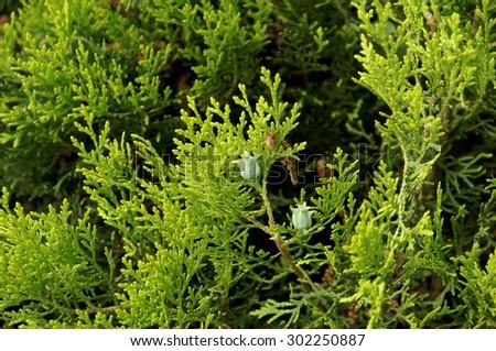 Close-up Thuja tree. - stock photo