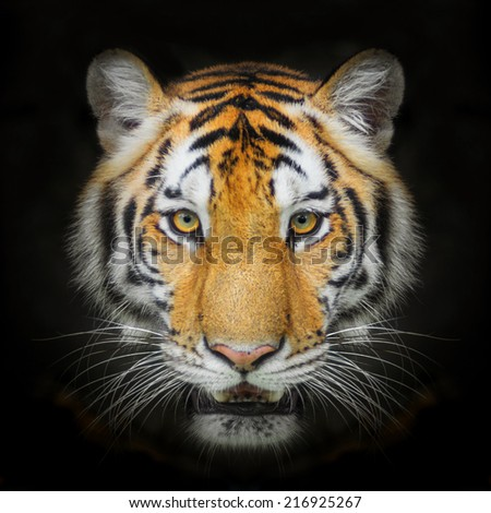 Close up Tiger face, isolated on black background. - stock photo