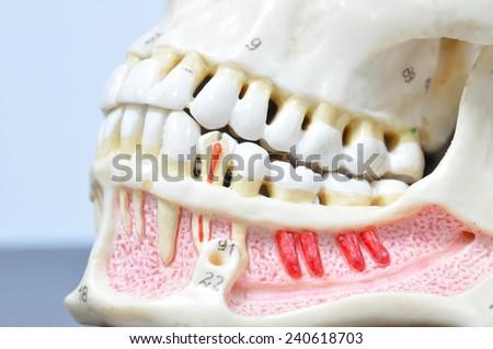 close up to human teeth anatomy - stock photo
