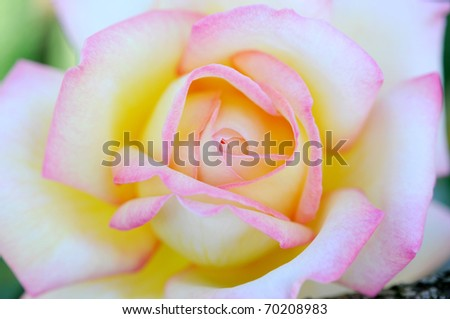 close up to pink rose - stock photo