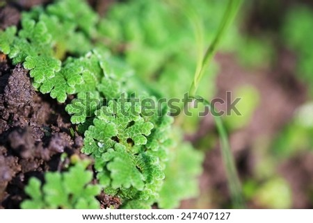 Close up  to small tree that grows on the surface. Light green Floating on the surface Group More common in tropical countries . - stock photo