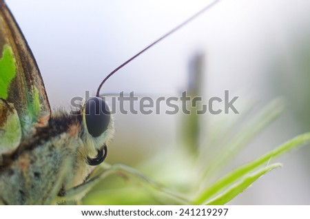close up to the anterior part of butterfly - stock photo
