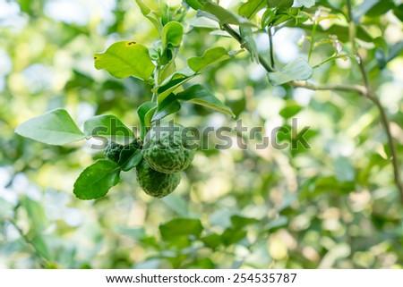 close up two bergamot on tree - stock photo