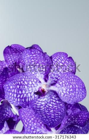 close-up Vanda Orchid Wanda - Queen of orchids, purple flower.  - stock photo