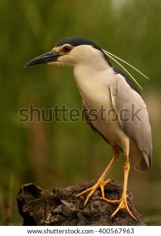 Close up, vertical photo of  water bird Black-crowned Night Heron, Nycticorax nycticorax, male standing on old trunk in the shallow water, against blurred background. Photographed from water level. - stock photo