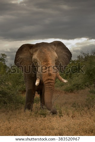 Close up, vertical portrait of big bull African elephant, Loxodonta africana africana, taken in high dynamic range. Greater Kruger National Park, South Africa - stock photo