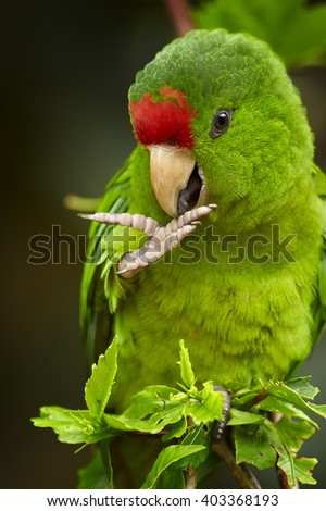 Close up, vertical portrait of green and red Scarlet-fronted Parakeet, Psittacara wagleri perched on hibiscus branch. Wildlife photo of aratinga parrot  in Sierra Nevada de Santa Marta, Colombia. - stock photo