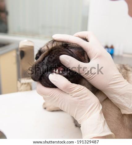 close up veterinarian checks teeth to a dog - stock photo