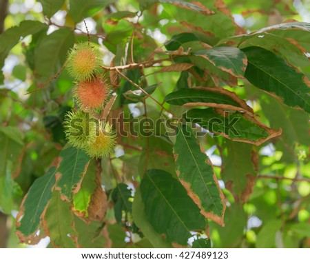 Close up view cluster of organic fresh ripe and green Rambutan (Nephelium lappaceum) on a tree branch in orchard at Singapore. Colorful tropical fruit in nature. Fruit plantation, agricultural concept - stock photo