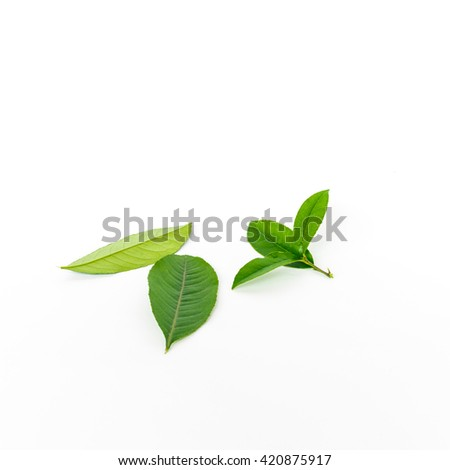 Close-up view collection of fresh green lemon leaves and branches isolated on white background. Its freshly picked from home growth organic garden. Food concept. - stock photo