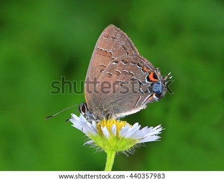 Close- up view of a Banded Hairstreak butterfly (Satyrium calanus) on wild daisy fleabane. - stock photo