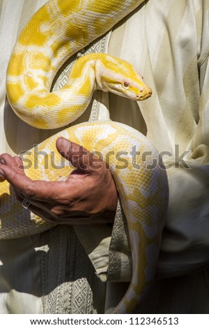 Close up view of a beautiful yellow python snake being maneuvered by a man. - stock photo