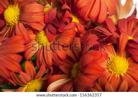 Close up view of a bunch of red chrysanthemums - stock photo
