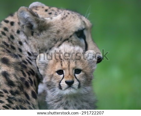 Close-up view of a Cheetah cub in front of his mother 02 - stock photo