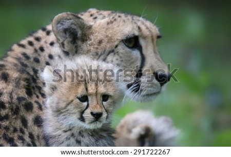 Close-up view of a Cheetah cub in front of his mother  - stock photo