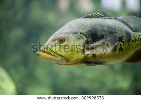 Close-up view of a cichla ocellaris, focus on eye, with shallow depth of field - stock photo
