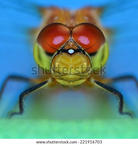Close- up view of a female Ruby Meadowhawk dragonfly (Sympetrum rubicundulum). - stock photo