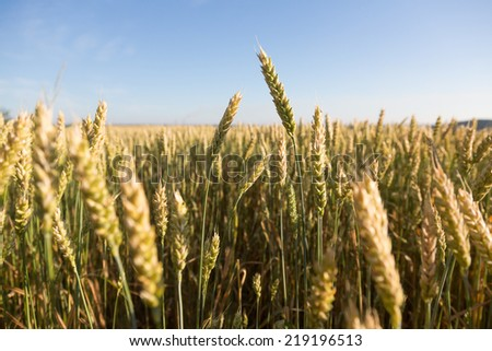 Close up view of a fresh green wheat ears  - stock photo
