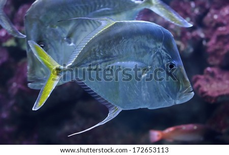 Close-up view of a Lookdown (Selene vomer) - stock photo