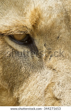 Close up view of a male white lion's eye - stock photo