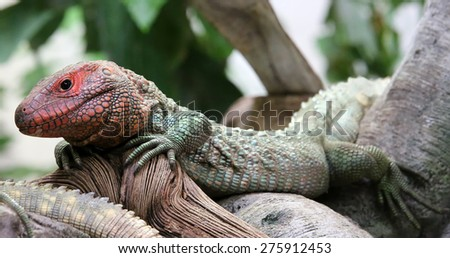 Close-up view of a Northern Caiman Lizard (Dracaena guianensis) - stock photo