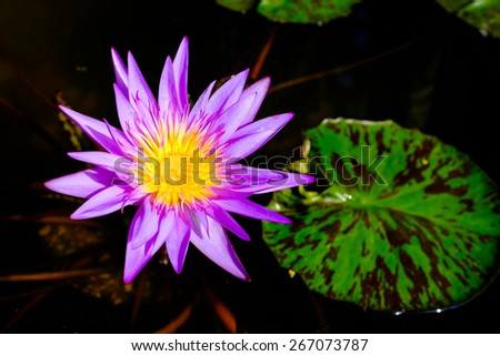Close up view of a pretty blooming water lily flower. - stock photo