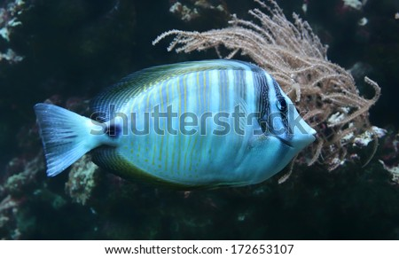 Close-up view of a Sailfin tang  (Zebrasoma veliferum)  - stock photo