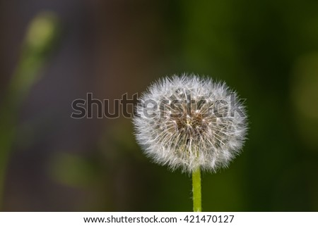 Close up view of a seed head of dandelion, copy space available - stock photo