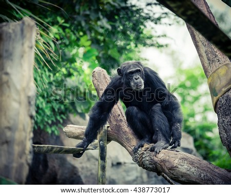 Close-up view of a single adult chimpanzee (Pan troglodytes) in the zoo with green natural background. It is from Western & Central Africa range. Vintage look. - stock photo