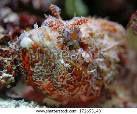 Close-up view of a Stonefish (Synanceia verrucosa) - stock photo