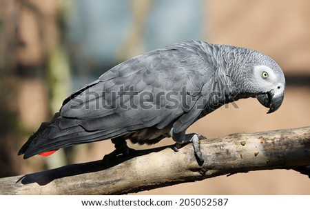 Close-up view of an African grey parrot (Psittacus erithacus) - stock photo